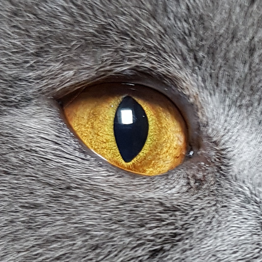 chat femelle marley des tresors d easy blue