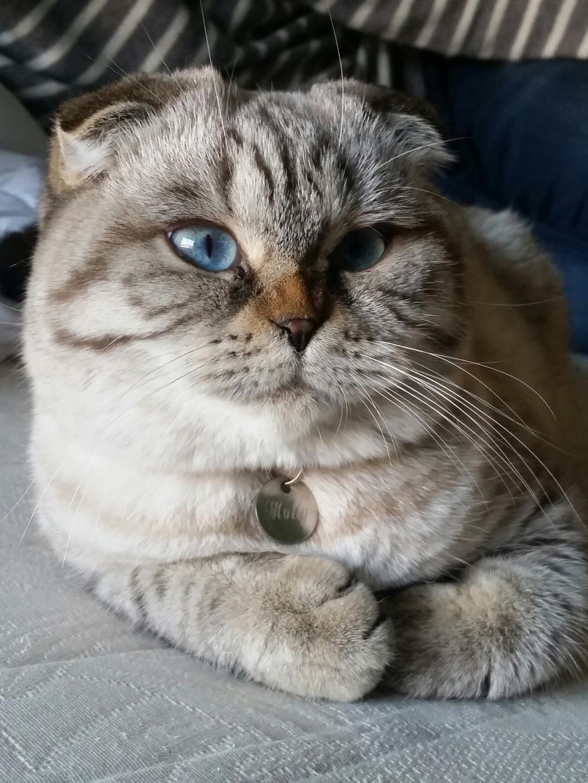 Molly cats craddle des tresors d easy blue aux yeux bleus