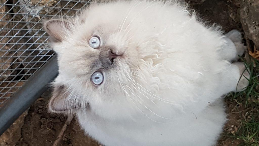 Oscar des tresors d easy blue aux yeux bleus ciel
